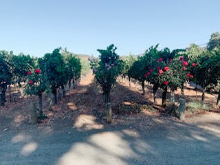 Why are there Roses at the end of each row of Grapevines?